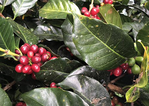 coffee cherries unpicked